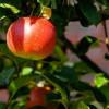 Der Apfel der über den Zaun fällt