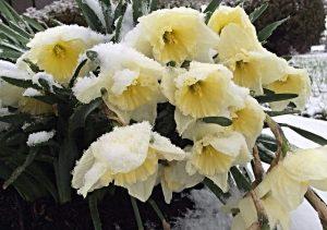 daffodils-670406_640